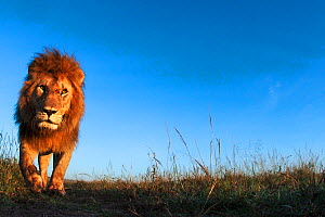 Lion (Panthera leo) male approaching,  Maasai Mara National Reserve, Kenya.  Taken with remote wide angle camera.  -  Anup Shah