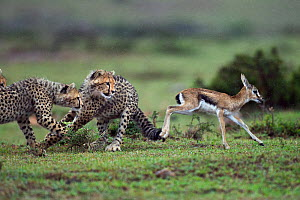 Cheetah cubs (Acinonyx jubatus) aged 6-9 months hunting a Thomson's gazelle fawn (Eudorcas thomsonii) caught by their mother so they can develop their hunting skills, Maasai Mara National Reserve, Ken...  -  Anup Shah