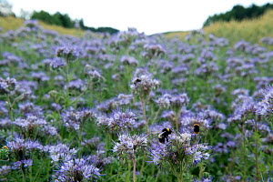 Bumblebees on Purple tansy strip (Phacelia tanacetifolia) a herb rich in nectar. Ostfold County, Norway. July 2014. - Pal Hermansen