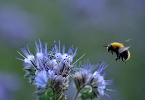Bumblebee on Purple tansy (Phacelia tanacetifolia) a herb rich in nectar. Ostfold County, Norway. July 2014.  -  Pal Hermansen