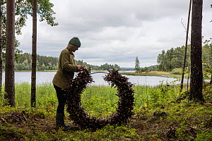 Artist preparing a circle of branches and 'found objects' for bio-degradable artwork to be reclaimed by nature over time. Valer, Ostfold county, Norway. August 2015. - Pal Hermansen