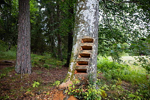 Artwork in progress by Trude Johansen -  shallow drawers / shelves cut into trunk of Beech tree (Fagus sylvatica), where drawings of threatened insects will be placed. Valer, Ostfold County, Norway. J...  -  Pal Hermansen