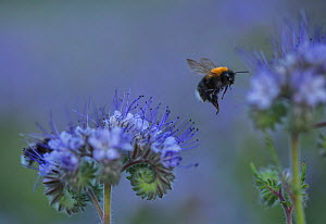 Bumblebee on Purple tansy (Phacelia tanacetifolia) Ostfold County, Norway. July 2014.  -  Pal Hermansen