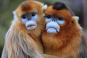 Golden monkey (Rhinopithecus roxellana) adult male and female hugging, Qinling Mountains, China. - Cyril Ruoso
