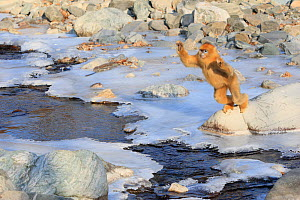 Golden monkey (Rhinopithecus roxellana) jumping over a frozen stream, Qinling Mountains, China. Sequence 2 of 7 - Cyril Ruoso