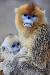 Golden monkey (Rhinopithecus roxellana) female with young suckling, Qinling Mountains, China. - Cyril Ruoso