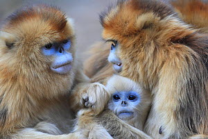 Golden monkey (Rhinopithecus roxellana) females sitting close together with baby inbetween, Qinling Mountains, China.  -  Cyril Ruoso
