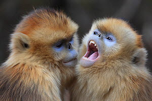 Golden monkey (Rhinopithecus roxellana) juveniles interacting, Qinling Mountains, China. - Cyril Ruoso