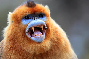 Golden monkey (Rhinopithecus roxellana) male showing canine teeth, Qinling Mountains, China. - Cyril Ruoso