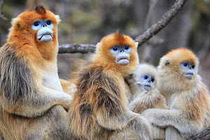Golden monkey (Rhinopithecus roxellana) group of male and female with infant and juvenile, Qinling Mountains, China. - Cyril Ruoso