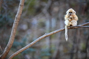 Golden monkey (Rhinopithecus roxellana) young perched on branch, Qinling Mountains, China.  -  Cyril Ruoso