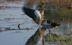 Slow motion clip of Egyptian geese (Alopochen aegyptiaca) preening and stretching wings, Khwai River, Moremi Game Reserve, Botswana.  -  Sean Viljoen