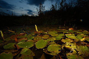 Edible frogs (Rana esculenta) in a pond in Burgundy, France, June.  -  Cyril Ruoso