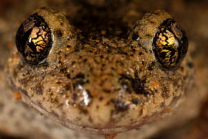 Midwife Toad (Alytes obstetricans) portrait. Burgundy, France  -  Cyril Ruoso