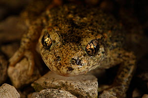 Midwife Toad (Alytes obstetricans) portrait of male with eggs, Burgundy, France  -  Cyril Ruoso