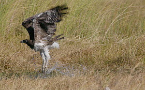 Slow motion clip of a Martial eagle (Polemaetus bellicosus) taking off, Khwai River, Moremi Game Reserve, Botswana.  -  Sean Viljoen