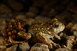 Midwife Toad (Alytes obstetricans) male carrying eggs wrapped around his back legs until they hatch, Burgundy, France, June.  -  Cyril Ruoso