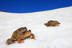 Common frog (Rana temporaria) migration during spring, two pairs moving to a pond in amplexus. Alps, France, May.  -  Cyril Ruoso