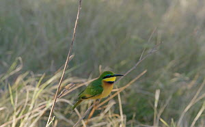 Slow motion clip of a Little bee-eater (Merops pusillus) taking off and landing from a twig, Moremi Game Reserve, Botswana. - Sean Viljoen