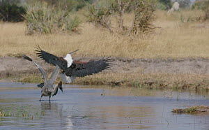 Slow motion clip of an African Fish eagle (Haliaeetus vocifer) attempting to catch a Goliath heron (Ardea goliath), Moremi Game Reserve, Botswana. - Sean Viljoen