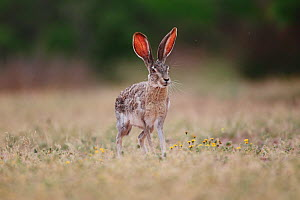 Black-tailed jackrabbit (Lepus californicus) standing, with ticks visible on ears, South Texas, USA. - Cyril Ruoso