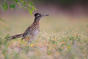 Greater roadrunner (Geococcyx californianus) South Texas, USA, April  -  Cyril Ruoso