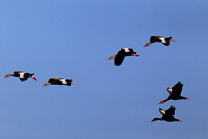 Black-bellied whistling-duck (Dendrocygna autumnalis) flock of six flying, South Texas, USA, April.  -  Cyril Ruoso