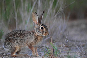 Desert cottontail (Sylvilagus audubonii) profile, South Texas, USA, April. - Cyril Ruoso