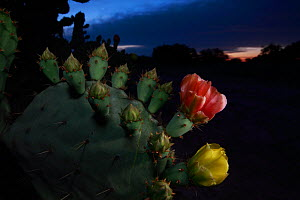 Prickly pear cactus (Opuntia lindheimeri) in flower, at night, South Texas, USA, April. - Cyril Ruoso