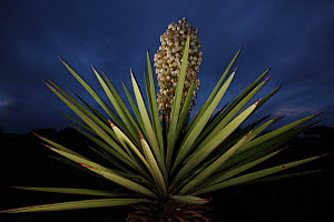 Yucca (Yucca torreyi) in flower at night, South Texas, USA, April.  -  Cyril Ruoso
