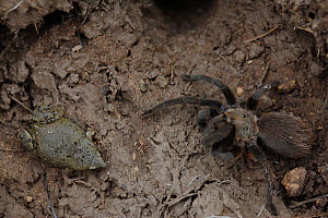 Great plains narrowmouth toad (Gastrophryne olivacea) and Tarantula (Aphonopelma sp) sharing  shelter under a rock, South Texas, USA, April. - Cyril Ruoso