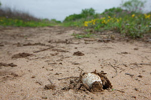 Fungus fruiting body emerging from sand, South Texas, USA, April. - Cyril Ruoso
