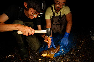 Professor Matsui's work team studying cases of hybridisation Japanese giant salamander (Andrias japonicus) and introduced Chinese giant salamander (Andrias davidianus). Removing tissue sample from spe...  -  Cyril Ruoso