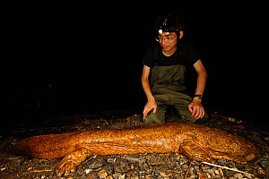 Professor Matsui looking at Japanese giant salamander (Andrias japonicus) at night. This massive specimen measures 1.3m and weighs 11.4kg and is likely to be a hybrid with the Chinese giant salamander...  -  Cyril Ruoso