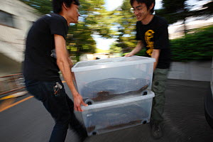 Professor Matsu's work team studying cases of hybridisation between  Japanese giant salamander (Andrias japonicus) and introduced Chinese giant salamander (Andrias davidianus) carrying specimens caugh...  -  Cyril Ruoso