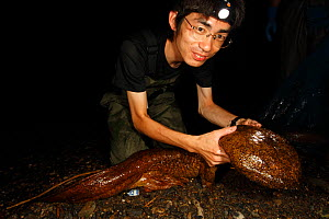 Professor Matsu's team studying cases of hybridisation between Japanese giant salamander (Andrias japonicus) and introduced Chinese giant salamander (Andrias davidianus) with specimen just caught in t...  -  Cyril Ruoso