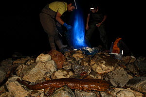 Professor Matsui's work team studying cases of hybridisation Japanese giant salamander (Andrias japonicus) and introduced Chinese giant salamander (Andrias davidianus) specimen just caught in the Kamo...  -  Cyril Ruoso