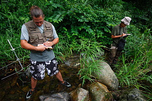 Scientists researching Japanese giant salamander   (Andrias japonicus) in stream habitat, Honshu, Japan, August 2010 2010. - Cyril Ruoso