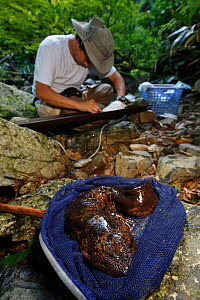 Professor Sumio Okada with Japanese giant salamander (Andrias japonicus) caught in net during research. Honshu, Japan, August 2010. - Cyril Ruoso