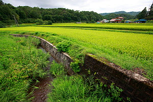 Artificial banks to create a paddy field. This can be a issue for Japanese giant salamanders as it disrupts their habitat. Honshu, Japan, August 2010.  -  Cyril Ruoso