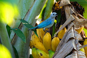 Blue-gray tanager (Thraupis episcopus) on banana or plantain (Musa) Colombia.  -  Cyril Ruoso