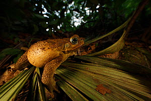 Cane toad (Bufo marinus) with body  inflated to deter predators, Sierra Nevada de Santa Marta, Colombia,  -  Cyril Ruoso