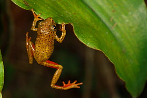 Tropical frog (Hyperolius sp) trying to climb onto leaf, Bateke Plateau NP, Gabon. - Cyril Ruoso
