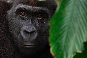 Western lowland gorilla (Gorilla gorilla gorilla) portrait of adult female reintroduced into the wild.  Reintroduction project, PPG, managed by Aspinall Foundation, Bateke Plateau National Park, Gabon... - Cyril Ruoso