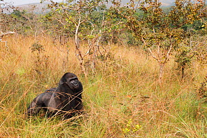 Western lowland gorilla (Gorilla gorilla gorilla) 'Tonga' a 15 years old silver back gorilla, at forest edge / savannah. PPG reintroduction project  managed by Aspinall Foundation, Bateke Plateau Nati...  -  Cyril Ruoso