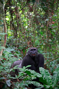 Western lowland gorilla (Gorilla gorilla gorilla) 'Tonga' a 15 years old silver back gorilla.  PPG reintroduction project  managed by Aspinall Foundation, Bateke Plateau National Park, Gabon, June 201...  -  Cyril Ruoso