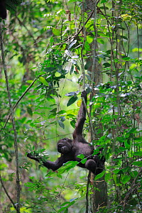 Western lowland gorilla (Gorilla gorilla gorilla) young  gorilla born in the wild to reintroduced gorillas, playing in tree, PPG reintroduction project  managed by Aspinall Foundation, Bateke Plateau... - Cyril Ruoso