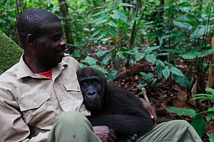 Aspinall Foundation worker hugging Western lowland gorilla (Gorilla gorilla gorilla) orphan juvenile age 5 years, PPG reintroduction project  managed by Aspinall Foundation, Bateke Plateau National Pa... - Cyril Ruoso