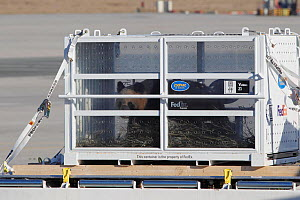 Pair of Giant pandas (Ailuropoda melanoleuca) unloaded from Panda Express, a Boeing 777 at Charles de Gaulle Airport, Paris, to be taken to a French zoo. 15th January 2012 - Cyril Ruoso