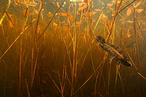 Crested newt (Triturus cristatus carnifex) male in pond, Burgundy. France, April.  -  Cyril Ruoso